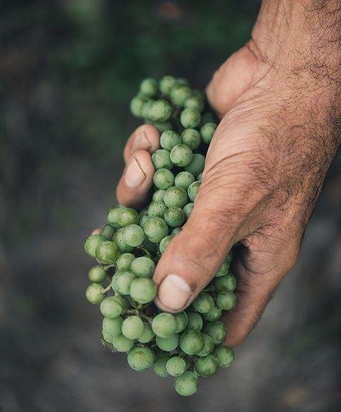 17-grapes-1757-lut3217-s
